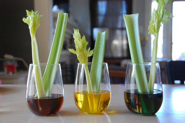 Colorful Celery Experiment and Capillary Action. Plants need water to survive and they draw water up from their roots through their capillaries. The capillaries are hollow and act a lot like a straw. Adding color to the water helps us visualize this usually invisible process.